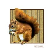 CL10 - Red Squirrel